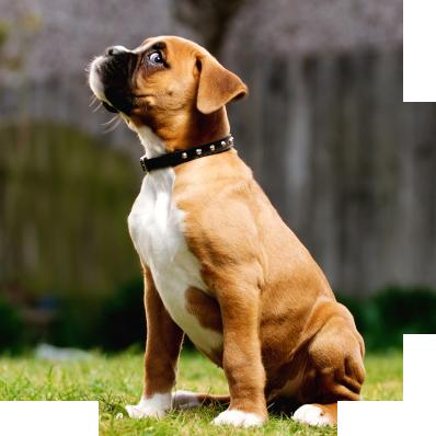 Boxer_sit